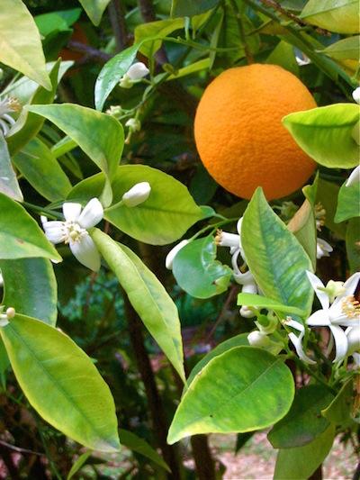 Ojai Artist Tour 2015 Starts with Local Backyard Citrus